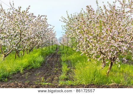 Blooming Apple Orchard On A Sunny May Evening