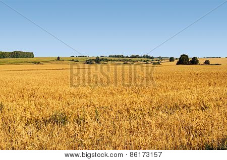 Big Yellow Field Of Wheat