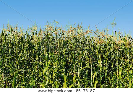Green Flowering Corn Field