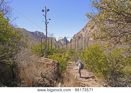 Hiker Looking At The Remains Of A Century Plant Stalk