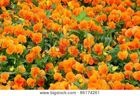Field Of Orange Spring Flowers - Pansies