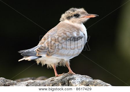 Baby Bird Of Common Tern.