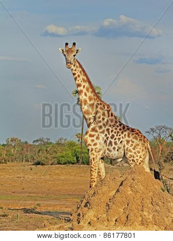 Giraffe standing behind a termite mound in Hwange