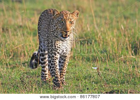 Handsome Leopard walking on the plains in Kenya