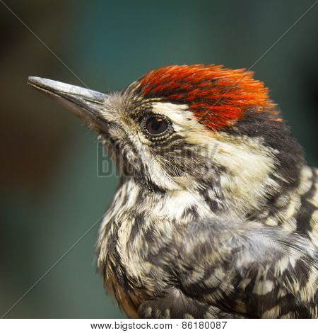 Little Bird Woodpecker