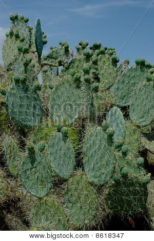 Part Of Cactus With Oval Leaves