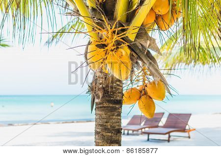 Coconuts On A Palm Tree Against Tropical White Sandy Beach