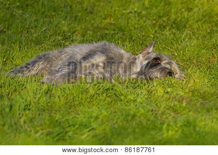 Dog lay on green grass