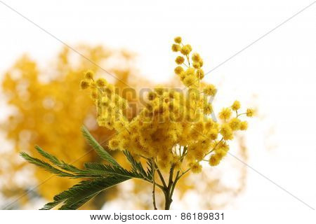 Beautiful sprig of mimosa close up