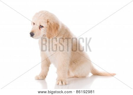 Sad Golden Retriever Puppy Looking Down Curiouly