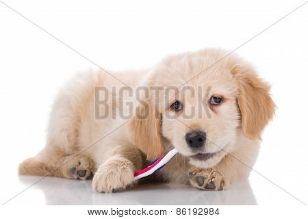 Golden Retriever Puppy Brushing His Teeth Sideways