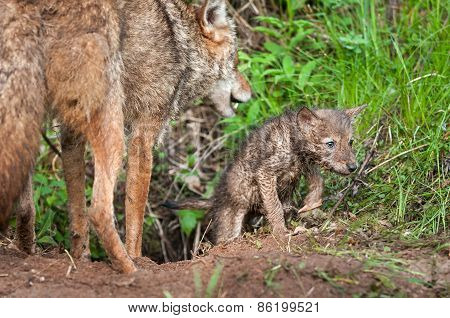 Coyote (canis Latrans) Pup Crawls Out Of Den - Adult Nearby