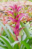 picture of bromeliad  - Closeup beautiful pink Bromeliads on nature background - JPG