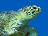 picture of sea-turtles  - single great sea turtle at the bottom of tropical sea on a background of blue water close up - JPG
