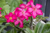 stock photo of azalea  - pink azalea flowers Desert Rose Impala Lily Mock Azalea in the garden. ** Note: Soft Focus at 100%, best at smaller sizes - JPG