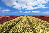 foto of buttercup  - Beautiful spring day on a farm on cultivation of buttercups  - JPG