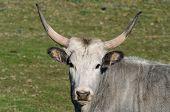 stock photo of prairie  - Cows of Maremmana race while grazing over a green prairie - JPG