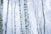 stock photo of birching  - Frosty birch forest in winter - JPG