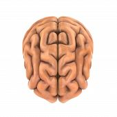 picture of frontal lobe  - Human Brain Anatomy Illustration  - JPG
