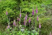 picture of digitalis  - Beautiful Foxglove flower in the forest in summertime - JPG