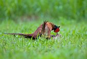 foto of mating animal  - Photo of male and female pheasant mating - JPG