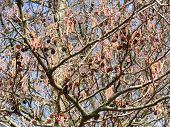 pic of alder-tree  - full frame alder detail at early spring time