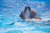 stock photo of bottlenose dolphin  - pair of dolphins dancing in water poll - JPG