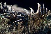 picture of spike  - Closeup shot of a marine iguana - JPG