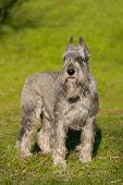 picture of schnauzer  - Beautiful silver schnauzer dog stand in green grass - JPG