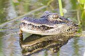 foto of alligator  - American Alligator swallowing snake at Viera Wetlands - JPG
