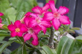 picture of azalea  - pink azalea flowers Desert Rose Impala Lily Mock Azalea in the garden. ** Note: Soft Focus at 100%, best at smaller sizes - JPG