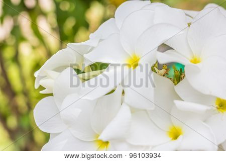 Purity Of White Plumeria Or Frangipani Flowers. Blossom Of Tropical Tree
