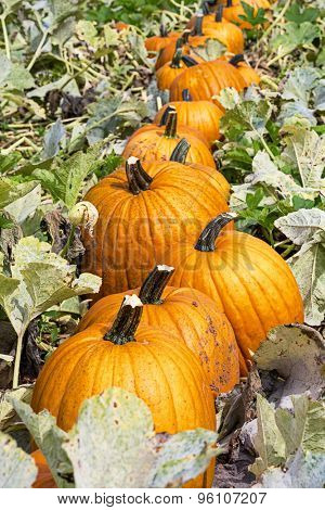 Pumpkin harvest in a farm field.