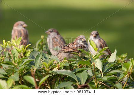 Four Sparrows