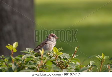 Lone Sparrow