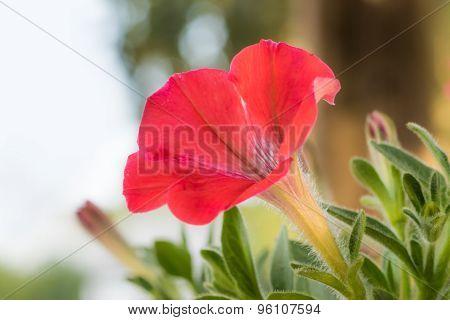 Magenta Pink Petunia