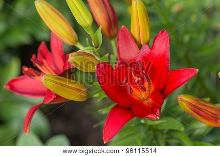 Red Lilies Outdoors