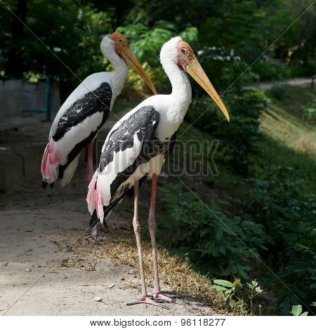 Painted Stork Bird Or Mycteria Leucocephala