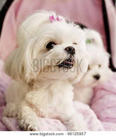 Maltese puppies pink background