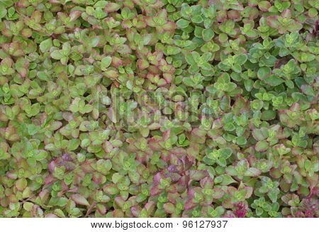 Green -red Leaves