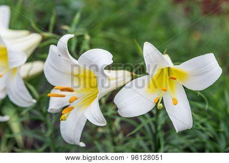 White Tubular Lilies