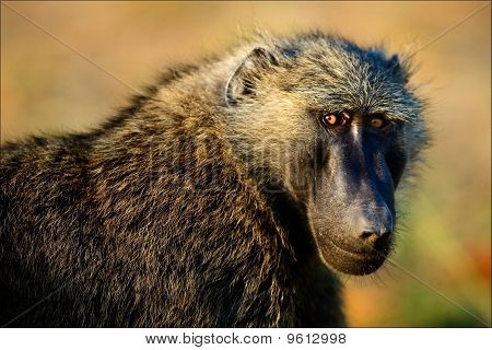 Portrait Of A Baboon.