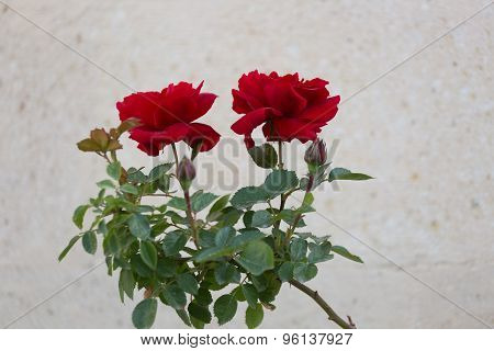 Beautiful Red Roses Against A Light Stone Wall In A Sunny Day