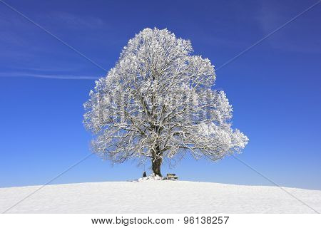 single big old linden tree at winter