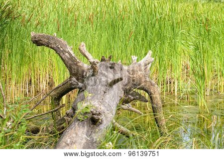 Uprooted Tree And Reeds