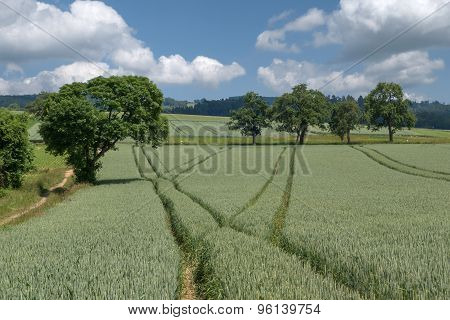 Lanes in the green wheat field