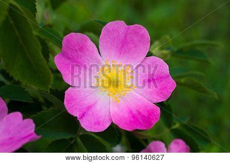 Flower Hips