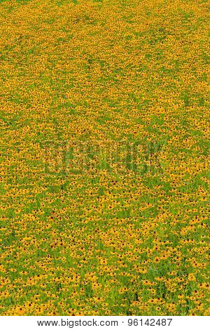 Black-Eyed-Susan flowers
