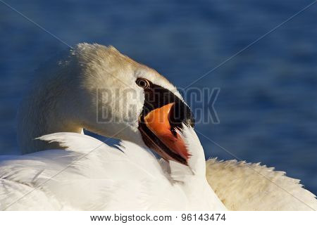 Very Beautiful Close-up Of The Mute Swan