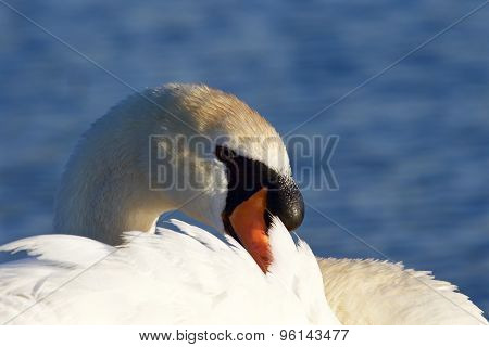 Beautiful Close-up Of The Mute Swan On The Sunny Evening